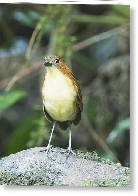 Yellow-breasted Antpitta Greeting Card