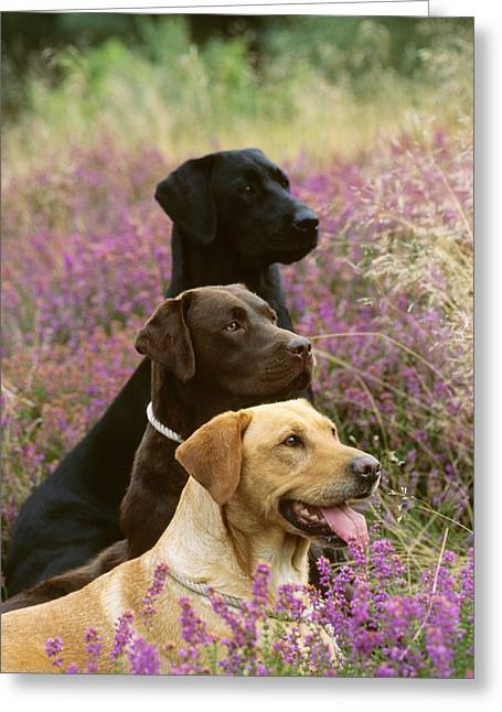 Yellow, Chocolate And Black Labradors Greeting Card by John Daniels