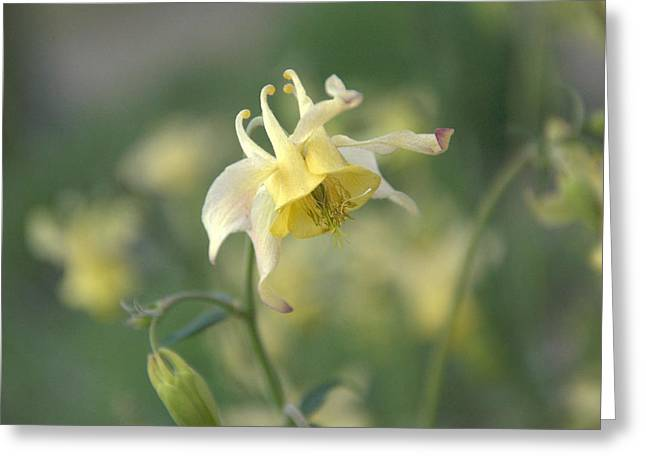 Yellow Columbine Greeting Card