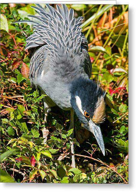 Yellow Crown Night Heron Greeting Card by Millard H. Sharp