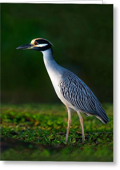Yellow-crowned Night Heron Nyctanassa Greeting Card by Panoramic Images
