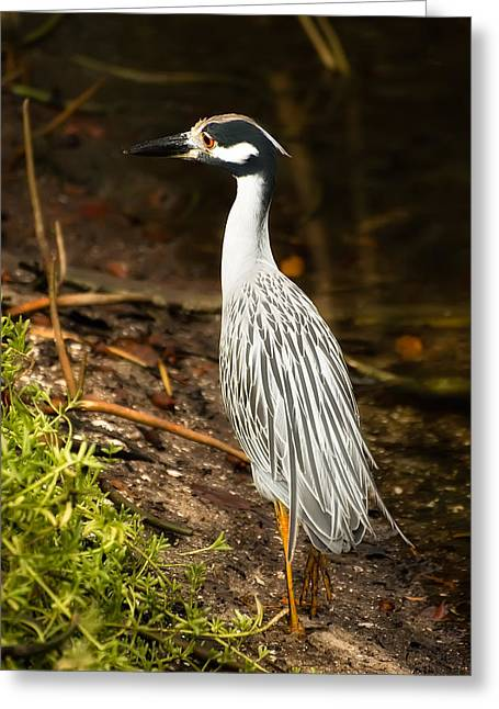 Yellow-crowned Night Heron Greeting Card by Rich Leighton