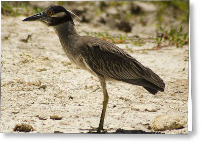 Yellow-crowned Night-heron Greeting Card
