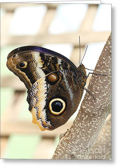 Yellow-edged Giant Owl Butterfly #4 Greeting Card by Judy Whitton
