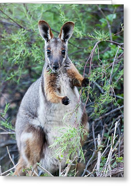 Yellow-footed Rock-wallaby (petrogale Greeting Card by Martin Zwick