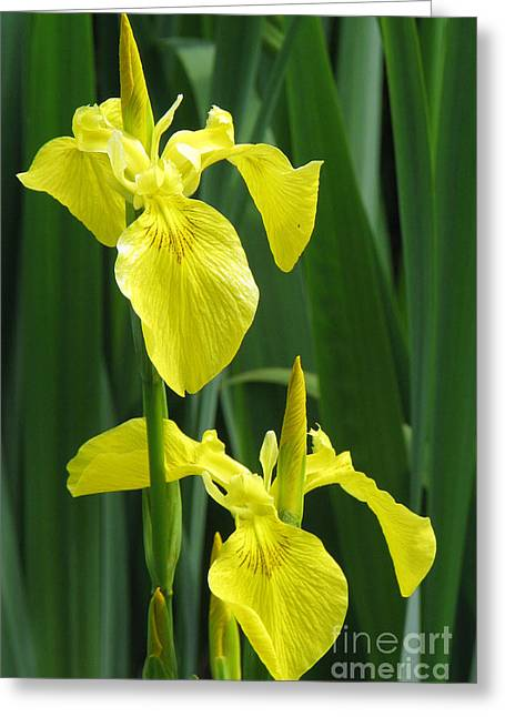 Yellow Iris Greeting Card by Frank Townsley