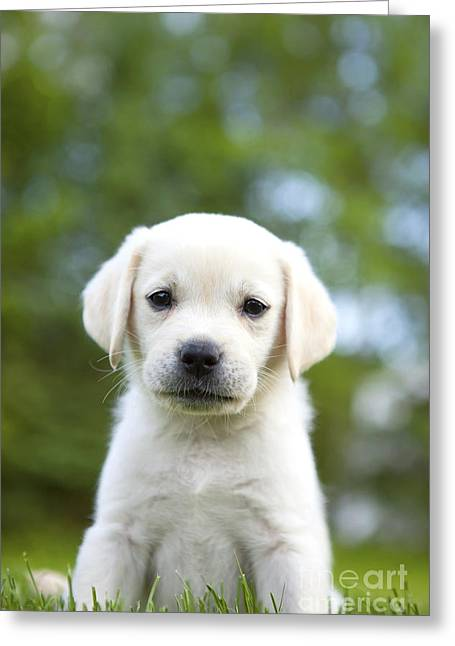 Yellow Lab Puppy Greeting Card by Diane Diederich