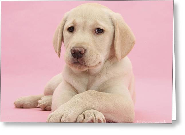 Yellow Labrador Retriever Greeting Card by Mark Taylor