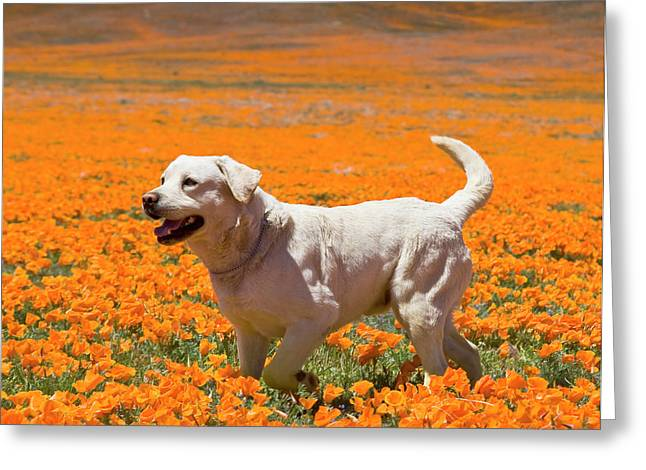 Yellow Labrador Retriever Standing Greeting Card