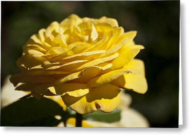 Yellow Rose Greeting Card by Steve Purnell