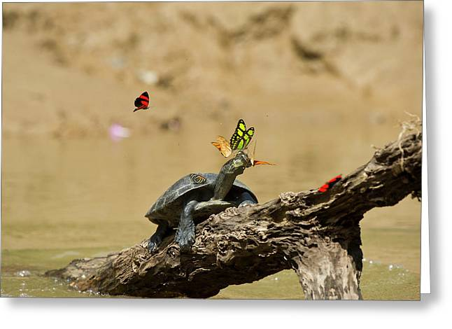 Yellow-spotted River Turtle (podocnemis Greeting Card