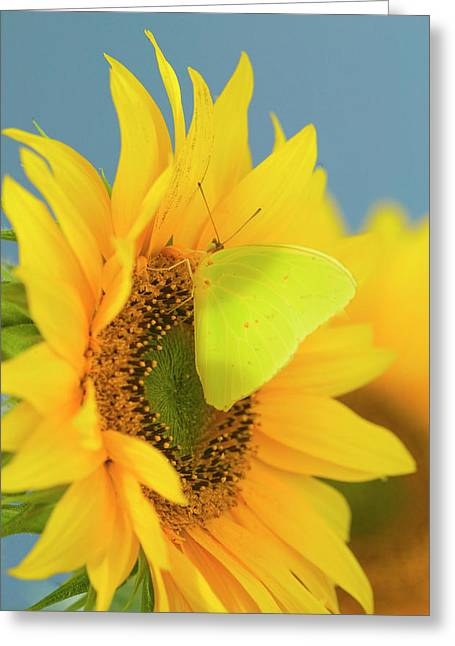 Yellow Sulfur Butterfly Greeting Card