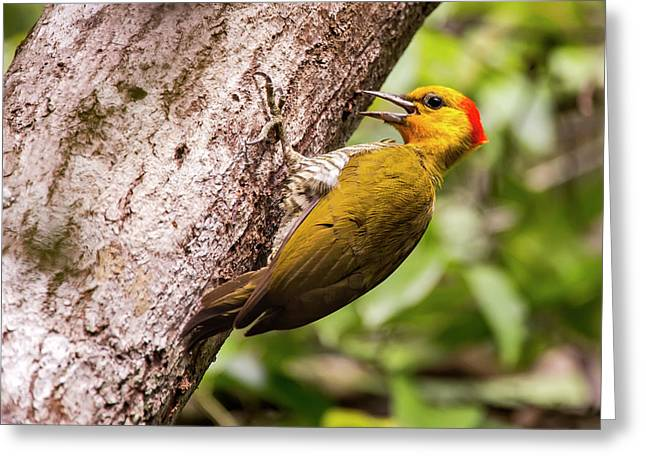 Yellow-throated Woodpecker Piculus Greeting Card by Leonardo Mer�on