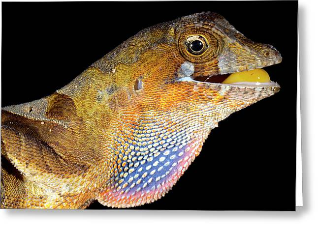 Yellow-tongued Anole Displaying Dewlap Greeting Card