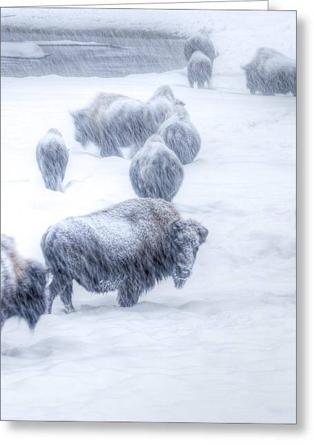 Yellowstone Bison Greeting Card