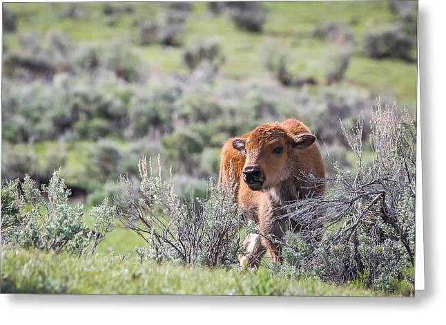 Bison Calf Greeting Card