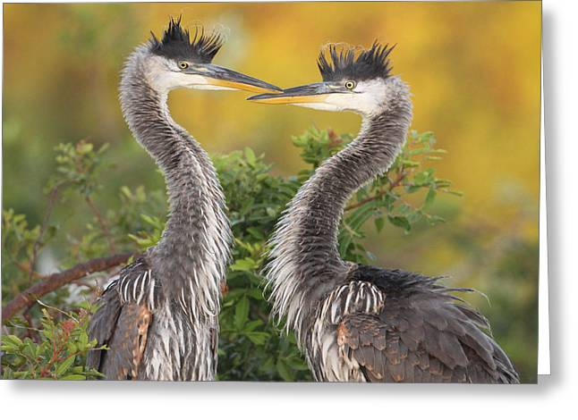 Young Herons Greeting Card by Brian Magnier
