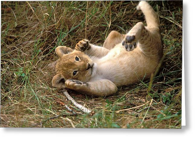 Young Lion Cub Greeting Card by Jean-Michel Labat