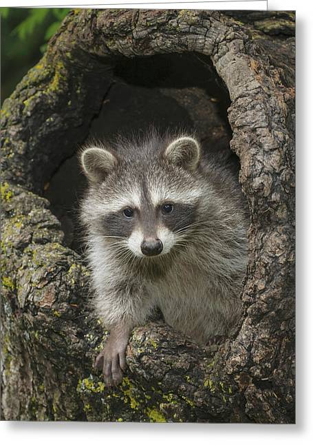Young Raccoon  Procyon Lotor  In Hollow Greeting Card by Rebecca Grambo