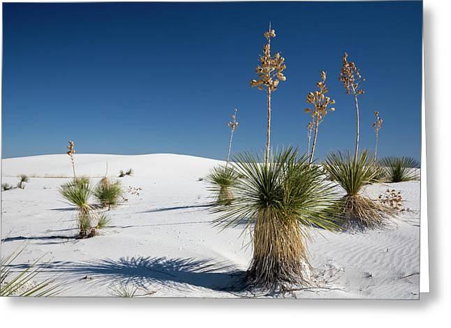 Yucca (yucca Elata) Plants Greeting Card by Jim West