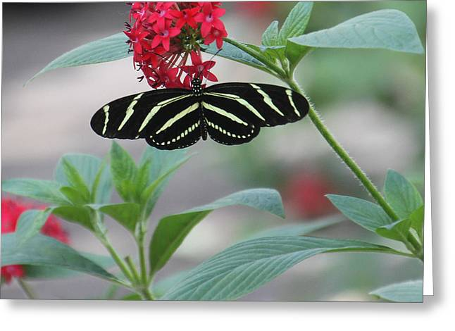 Zebra Longwing Butterfly Greeting Card by Rosalie Scanlon