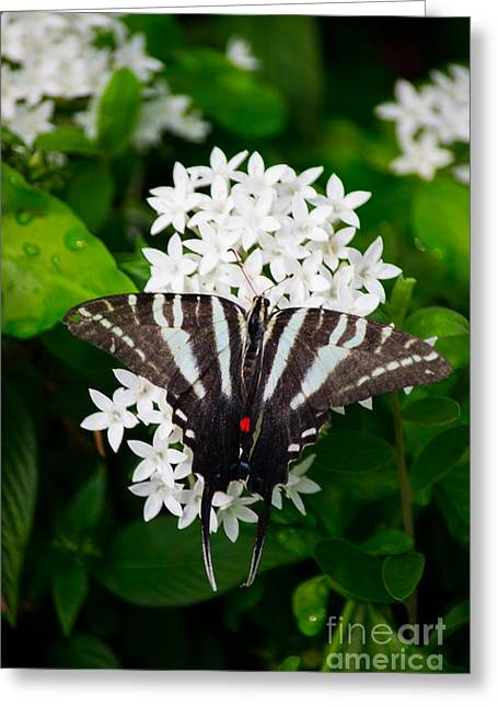 Zebra Swallowtail Greeting Card