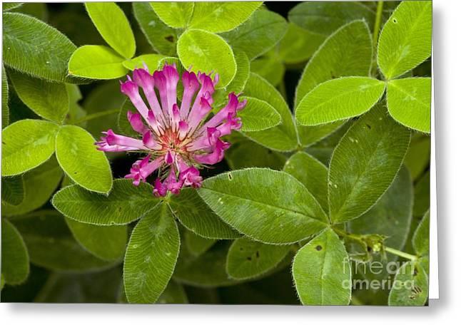 Zigzag Clover Trifolium Medium Greeting Card by Bob Gibbons