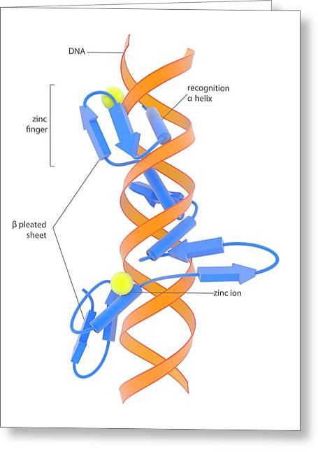 Zinc Finger Dna-binding Domain Greeting Card