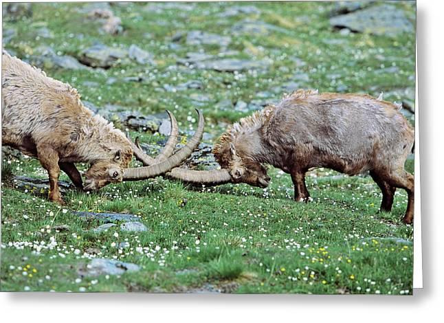 Alpine Ibex (capra Ibex Greeting Card