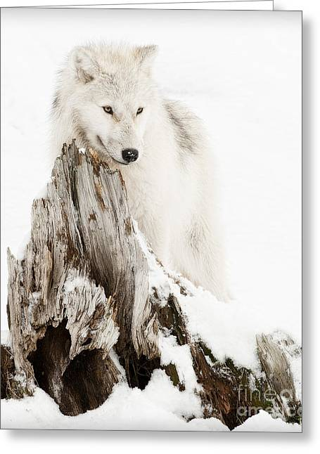 Arctic Wolf Pup Greeting Card by Wolves Only