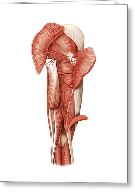 Arterial System Of The Leg Greeting Card by Asklepios Medical Atlas