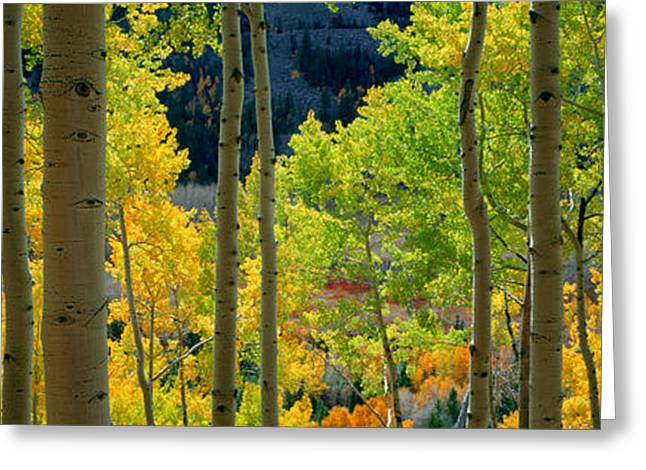 Aspen Trees In Autumn, Colorado, Usa Greeting Card by Panoramic Images