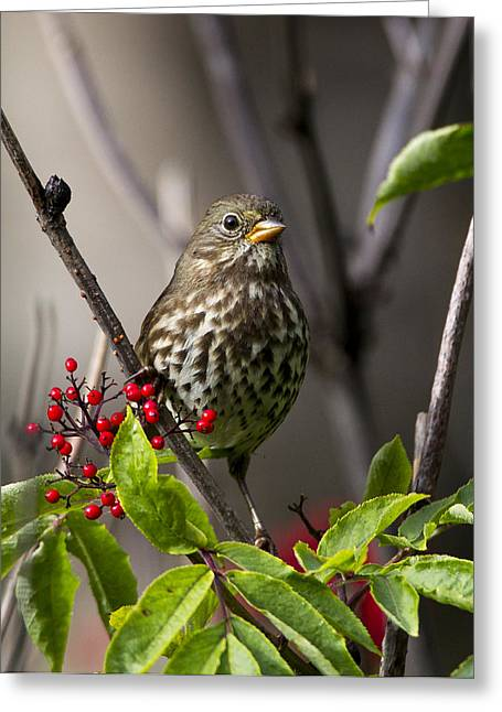 Fox Sparrow Greeting Card