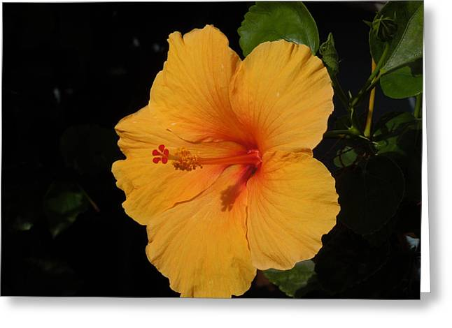 Hibiscus Greeting Card by Ron Davidson