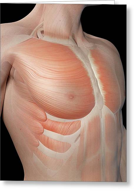 Human Chest Muscles Greeting Card by Sebastian Kaulitzki