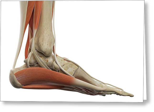 Human Foot Muscles Greeting Card by Sciepro
