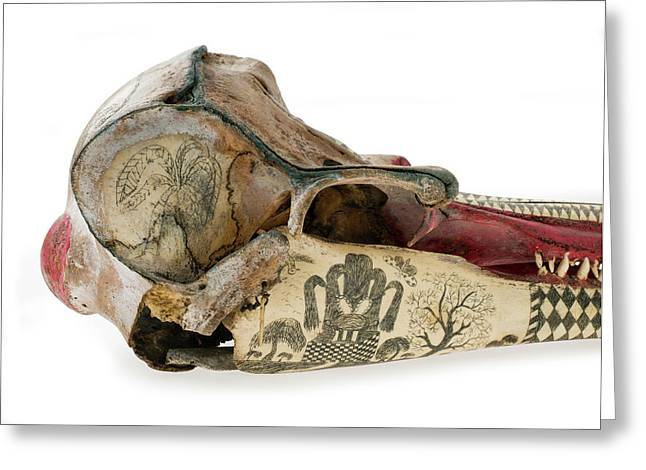Ink Scrimshaw On Dolphin Skull Greeting Card by Natural History Museum, London