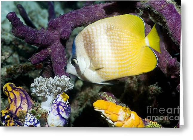 Kleins Butterflyfish Greeting Card