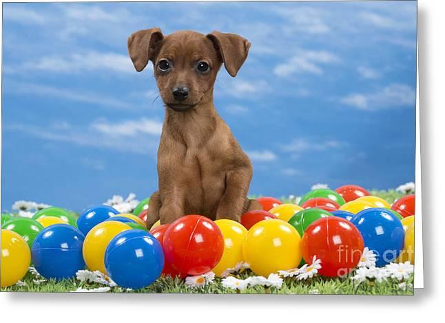 Miniature Pinscher Puppy Greeting Card by Jean-Michel Labat