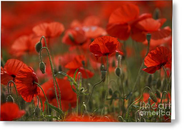 Red Poppy Flowers Greeting Card