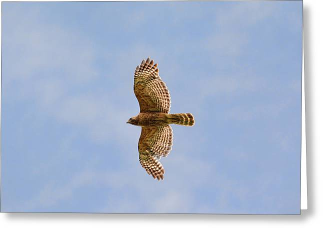 Red Shouldered Hawk In Flight Greeting Card by Jai Johnson