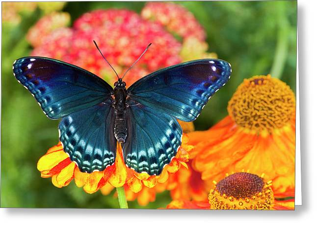 Red-spotted Purple Butterfly, Limenitis Greeting Card by Darrell Gulin