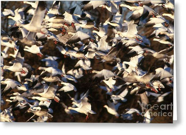 Snow Geese Greeting Card by Art Wolfe