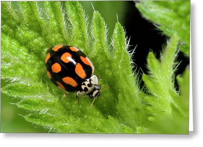 10-spot Ladybird Greeting Card by Nigel Downer