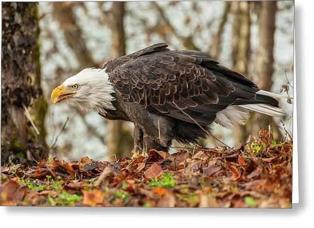 Usa, Alaska, Chilkat Bald Eagle Preserve Greeting Card by Jaynes Gallery