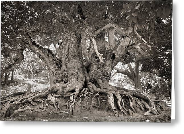 1000 Years Old Chestnut Tree Greeting Card