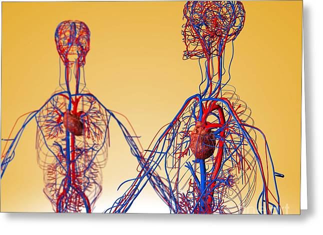 Cardiovascular System, Artwork Greeting Card
