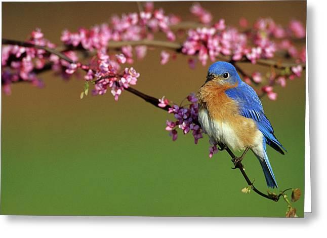 Eastern Bluebird (sialia Sialis Greeting Card