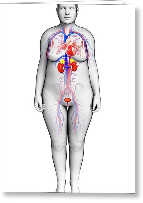 Female Urinary System Photograph by Pixologicstudio/science Photo ...