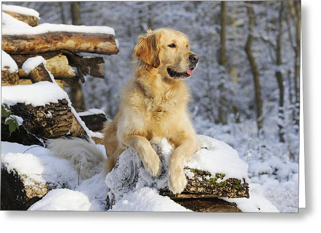 Golden Retriever In Snow Greeting Card